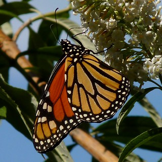 Monarch on Buddleia | by Dendroica cerulea