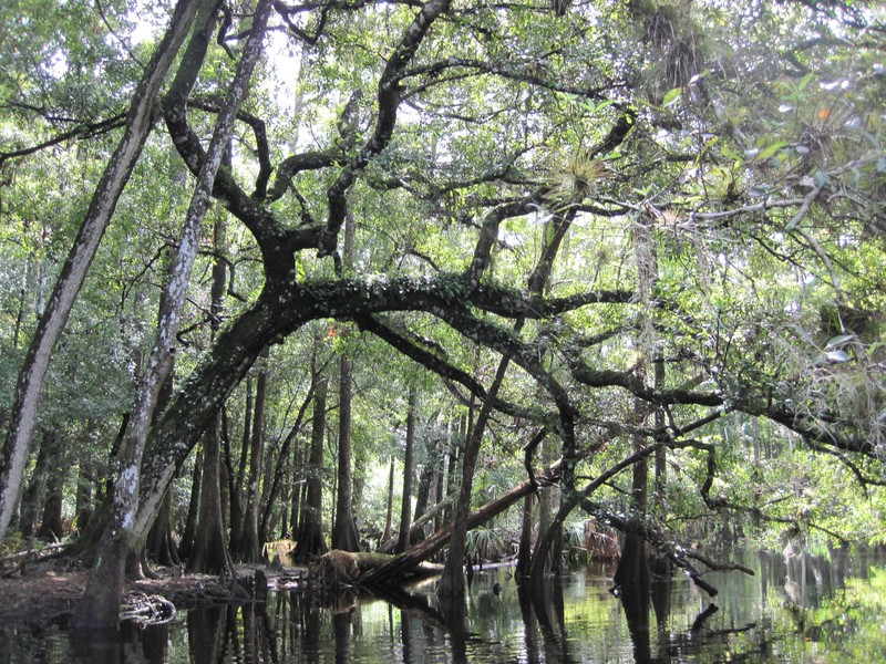 An island with what I believe is a large oak tree, whose branches arched over the creek.