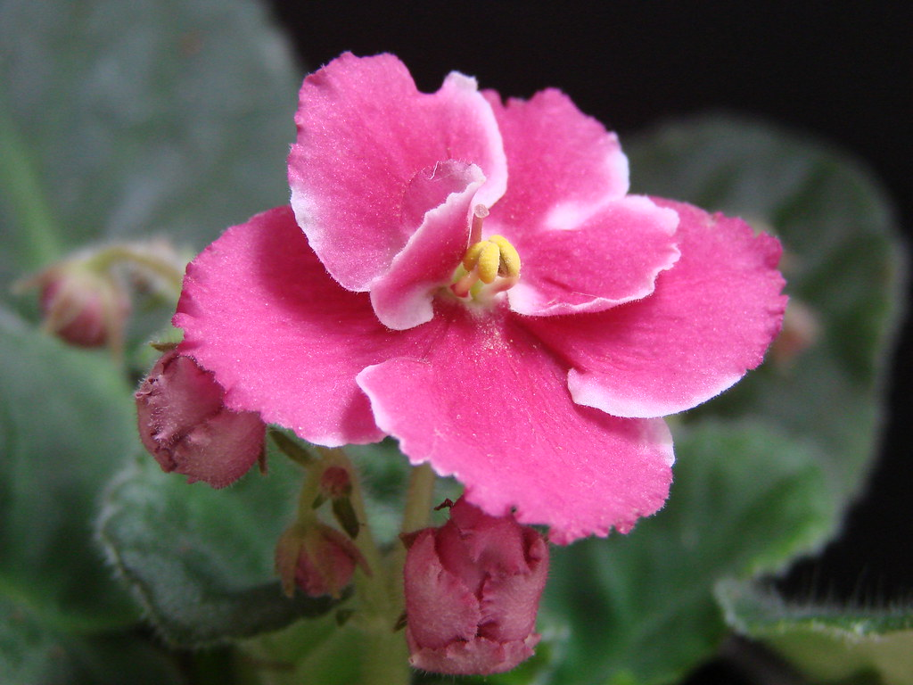 African Violet - Pink Lady | My new add to my collection ...