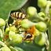 Ivy Bee (Colletes Hederae)