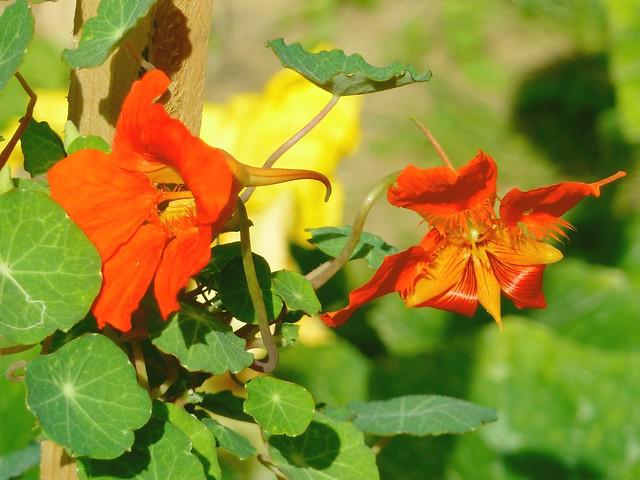 fleurs capucine comestible potager lppv flickr photo sharing. Black Bedroom Furniture Sets. Home Design Ideas