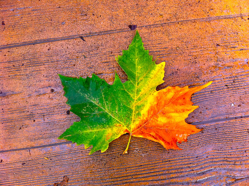 Maple Leaf Autumnal Symbolism | by erikrasmussen