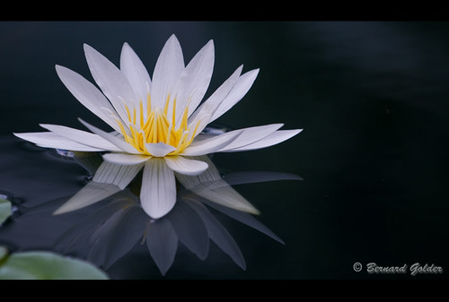 Water Lily | by Bernzfotos - Bernard Golder Photography