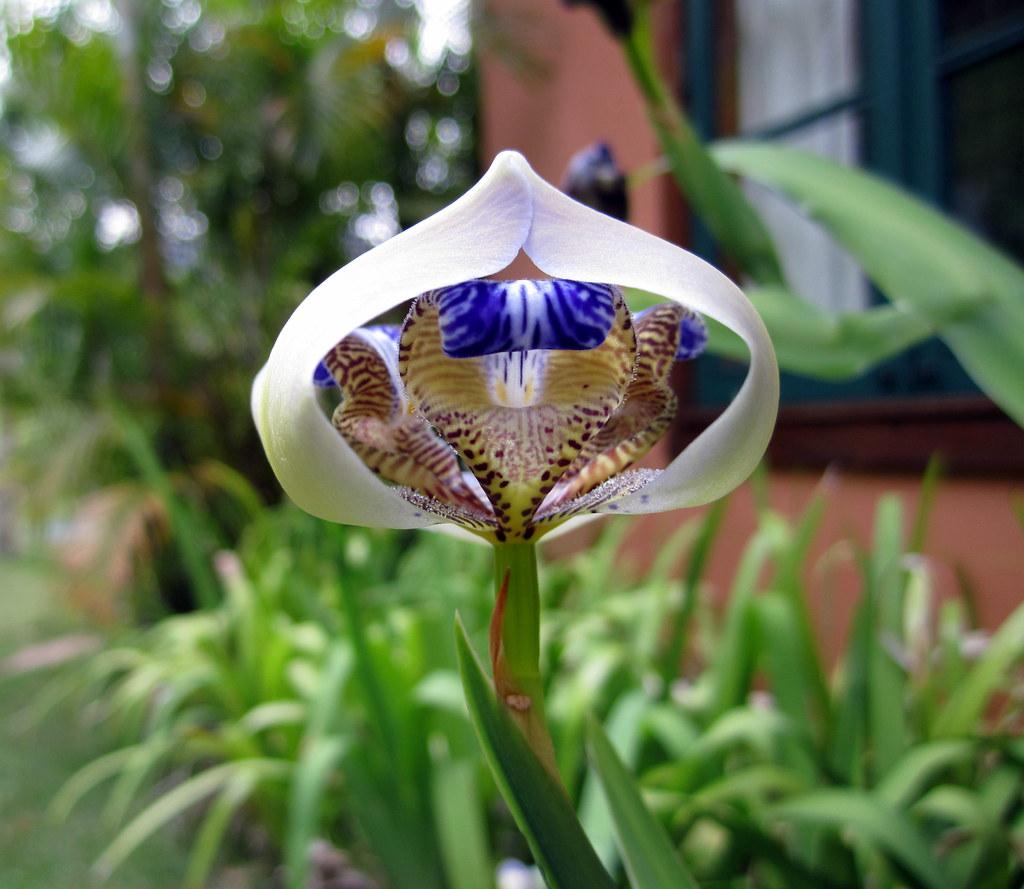 Walking iris ii neomarica gracilis this flower is a ne flickr walking iris ii neomarica gracilis by monipin izmirmasajfo
