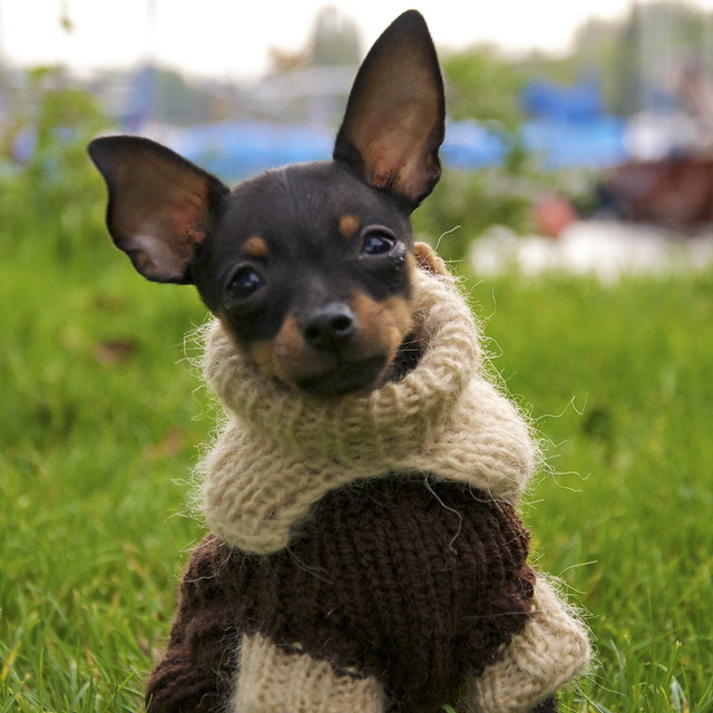 Russian Toy Terrier Flickr Photo Sharing