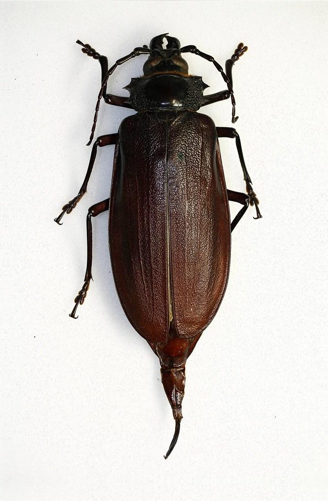 Titanus giganteus | Modified by CombineZP Biggest beetles ...