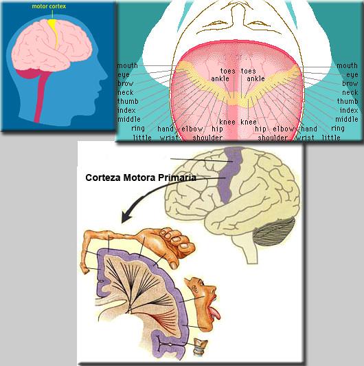 corteza motora 1ria | Fisioterapia Global | Flickr