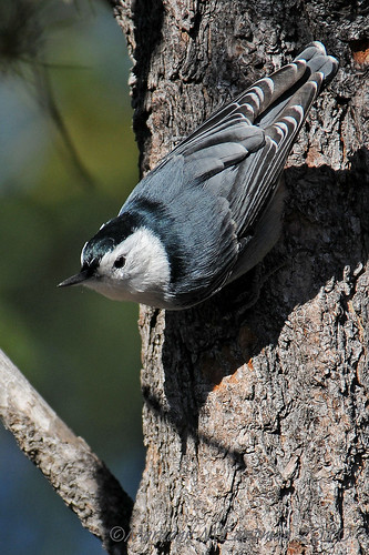 White-breasted Nuthatch (Sitta carolinensis) | by mmeastman