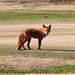 Red Fox at Hains Point