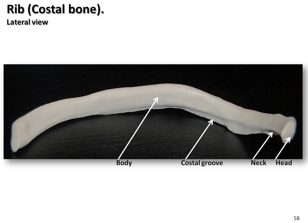 Integumentary System Nail Diagram Blank additionally Label Parts Of A Long Bone Label The Structures Of The Long Bone Label The Parts Of A Long in addition Characteristics additionally Kidney Labeled furthermore Label The Pancreas. on bone diagrams to label