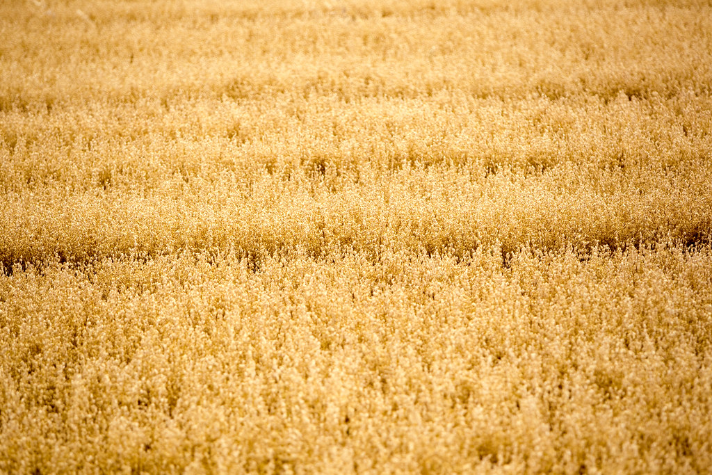 202 365 Wheat Field Texture Linda Scannell Flickr