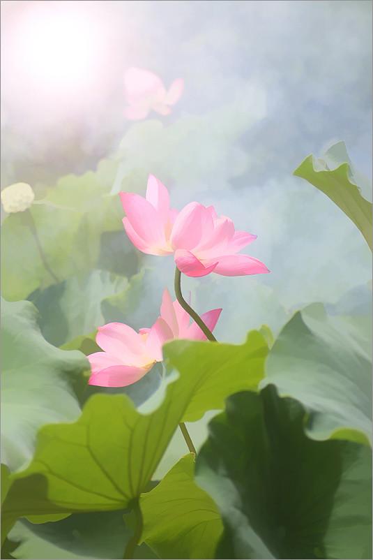 Pink Lotus Flower | Pink Lotus Flower | Bahman Farzad | Flickr