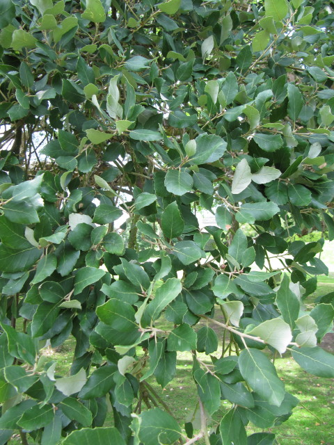 Cork Oak leaves   From Wikipedia - Quercus suber, commonly ...
