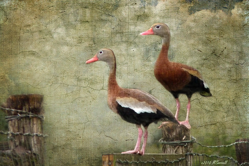 Black-bellied Whistling Ducks | by Passion4Nature