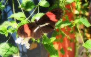 Butterfly with red bands | by ravitch