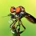 Robber Fly with Prey (Holcocephala fusca)