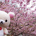 Korilakkuma and the Cherry Blossom Tree