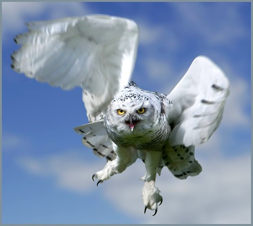 Snowy owl in flight. | by hawkgenes