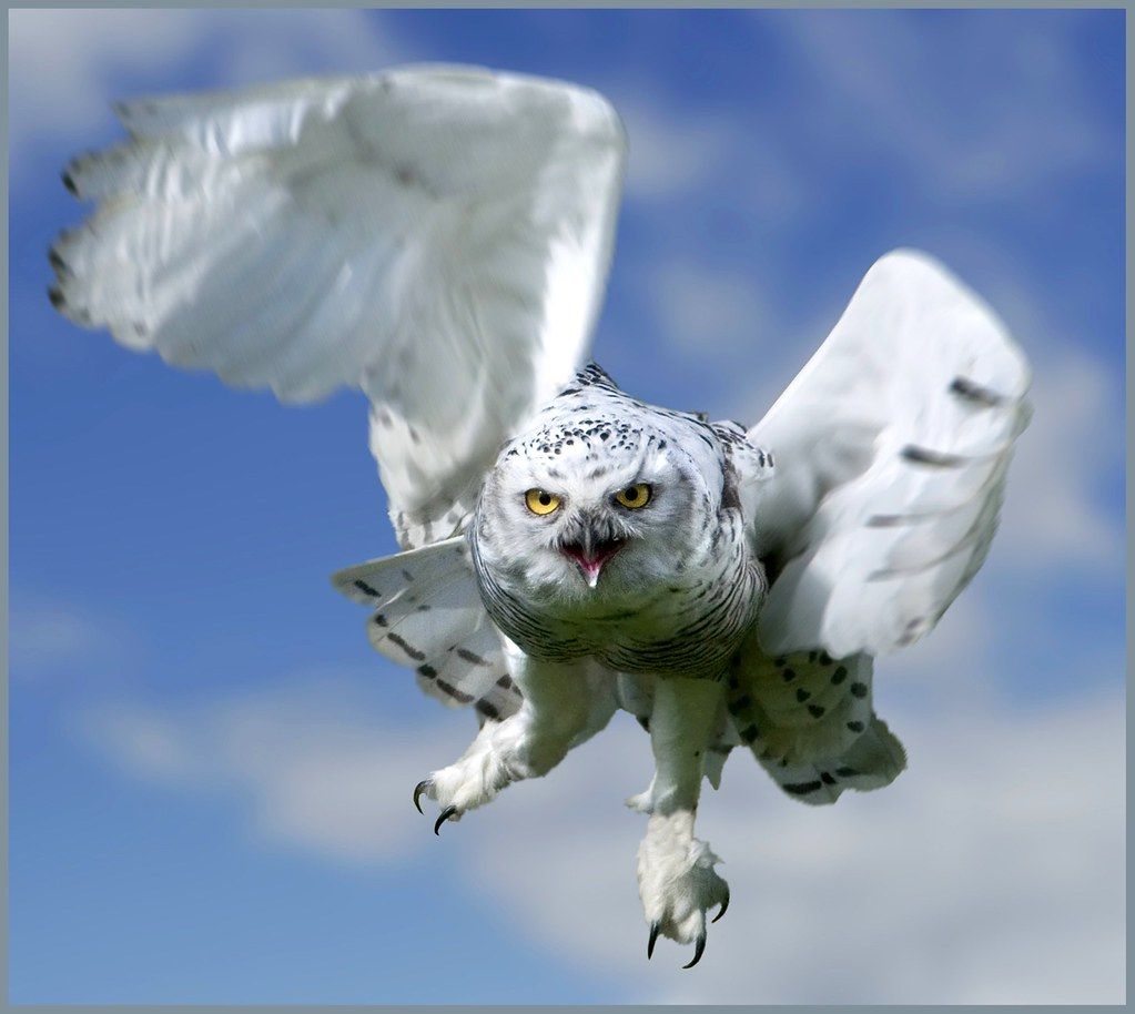 Snowy owl in flight at night - photo#16