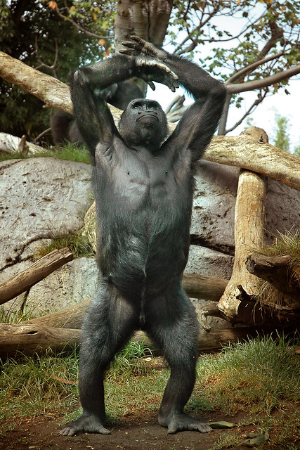 Gorilla standing up - photo#20