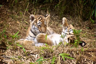 Tiger Cubs Playful Fighting | by ❤ Photography By Vicki ❤
