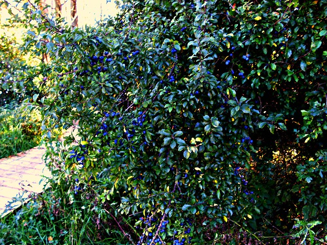 blackthorn tree - photo #29