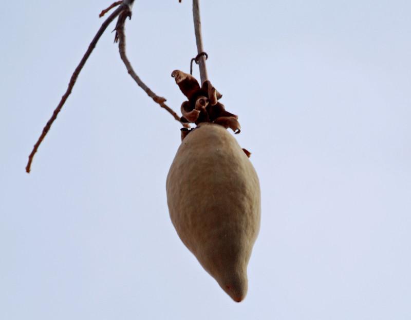 Baobab Frucht Ngidn1621870221 Naturgucker De Enjoynature Net