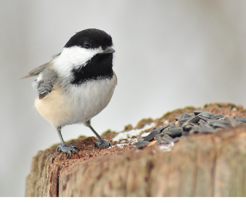 Chickadee on a dark winters day,Jan.29,2011 | by sues passion