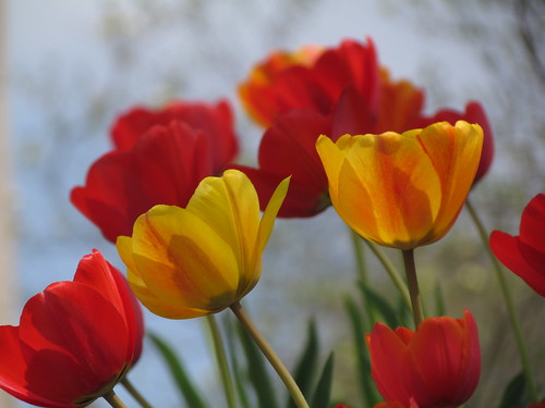 Tulips | by Trish Overton