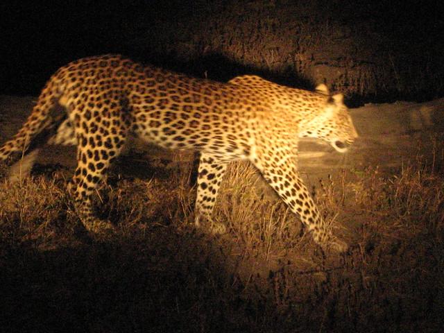 finally a leopard