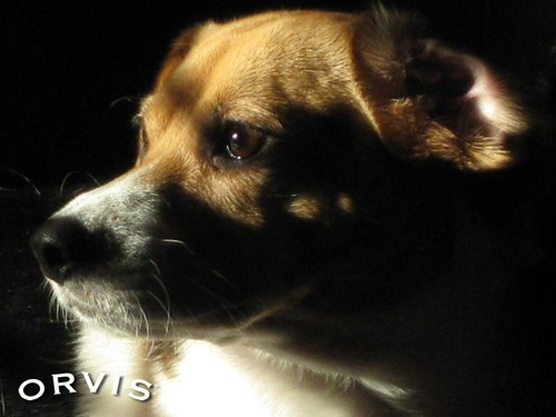 Orvis Cover Dog Contest - Dazee | by Orvis Cover Dog Photo Contest