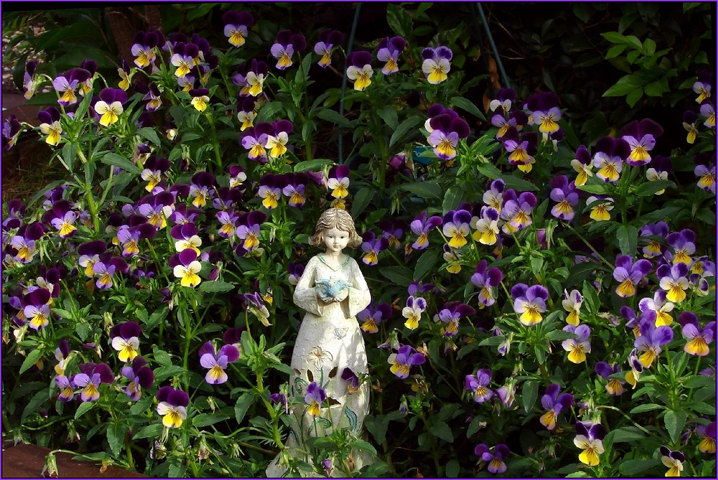 Alice in Wonderland Viola in my garden Miniature Viola Flickr