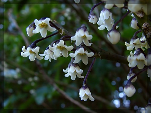 Mahoe tiny flowers ( Melicytus ) | by Tatters ✾