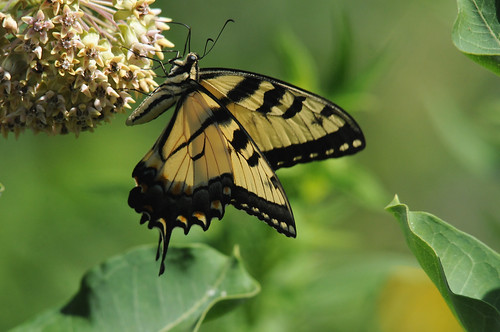 Eastern Tiger Swallowtail 7 | by DrLensCap