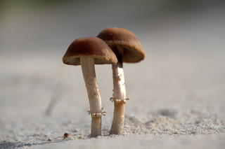little mushrooms on the beach           * explore * | by dewollewei