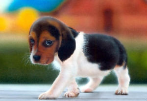 beagle puppy | by filmismylove