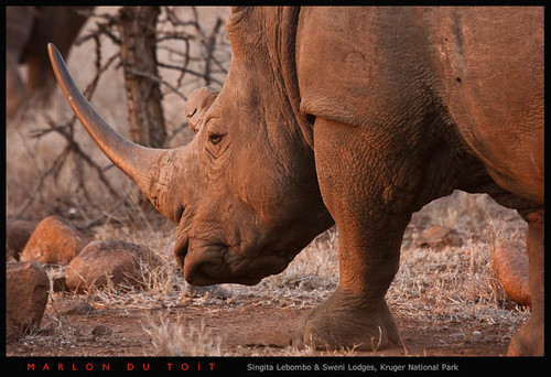 Rhino bull | by Singita Game Reserves