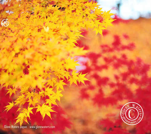 Gold and Red. © Glenn E Waters. Hirosaki. Over 2,000 visits to this photo. | by Glenn Waters ぐれんin Japan.