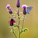 Common blue butterfly and Cinnabar moth