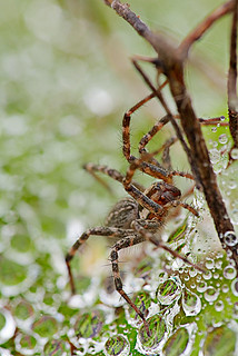 funnel spider on dewy web | by p.l.dove