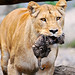 Lioness carrying her newborn cub III