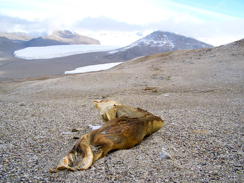 Mummified Seal | by cavekurt