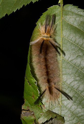 Banded Tussock Moth larvae | by North Carolina Museum of Natural Sciences