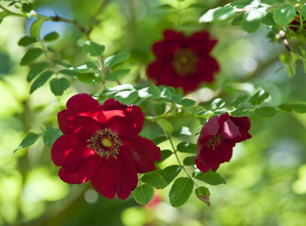 Rosa Moyesii Geranium This Rose Originating From West