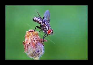 Housefly | by EricBronson's Photography