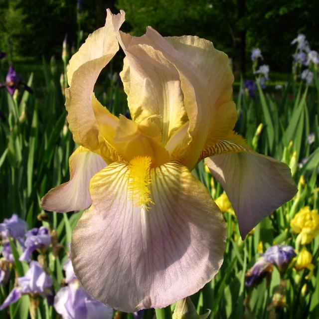 dansk cam lady iris