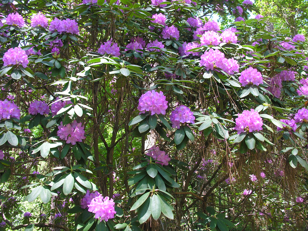 rhododendron catawbiense 39 roseum elegans 39 closeup jw flickr. Black Bedroom Furniture Sets. Home Design Ideas
