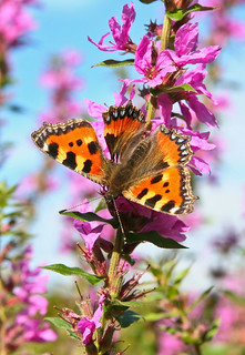 Small Tortoiseshell Butterfly | by Technical Tim