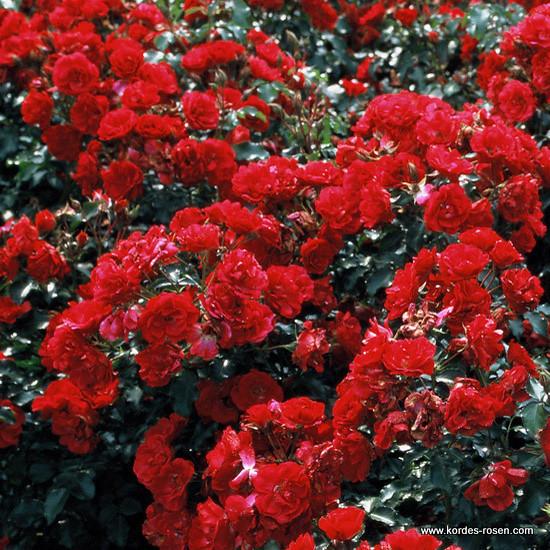 beetrose rotilla kordes 39 rose rotilia z chter w kord flickr. Black Bedroom Furniture Sets. Home Design Ideas