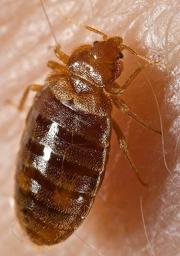 Bed bug, Cimex lectularius | by Si1very